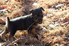 Puppy And Stick Royalty Free Stock Images