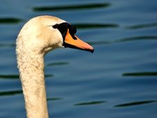 Free Swan Stock Photos - 418263