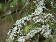 Free Moss-grown Tree Royalty Free Stock Images - 418589
