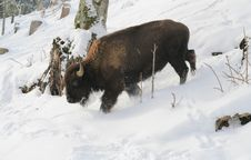 Free Bull In The Snow Stock Photos - 418653