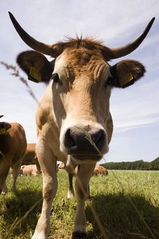 Free Cow Royalty Free Stock Photos - 418988