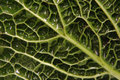 Free Detail Of A Cabbage Leaf Royalty Free Stock Images - 4104649