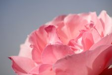 Free Pink Rose Royalty Free Stock Image - 4100626