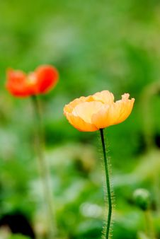 Free Corn Poppy Royalty Free Stock Photos - 4101028
