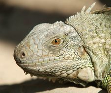 Free Head Of Iguana Stock Photos - 4102663