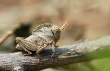 Free Locust Royalty Free Stock Photos - 4103248
