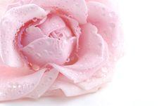 Free Pink Rose Royalty Free Stock Photos - 4103258