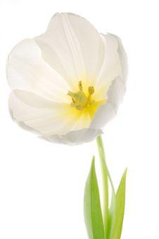 Free White Tulip Stock Photography - 4103462