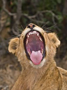 Free Lion Yawn Stock Photos - 4104553