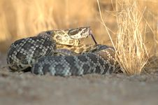 Free Southern Pacific Rattlesnake Stock Photos - 4105983