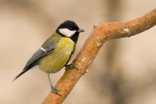 Free Great Tit (aka Parus Major) On Winter Day Stock Image - 4107551