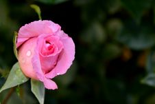 Free Pink Rose Bud Stock Photo - 41037690