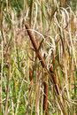 Free Cattails Stock Image - 4118761