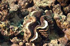 Free Common Giant Clam (tridacna Maxima) Stock Images - 4110364