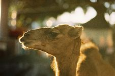 Camels Head Stock Images