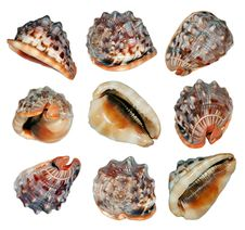 Scallops Royalty Free Stock Photos