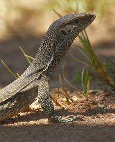 Free Water Monitor Stock Photography - 4111372