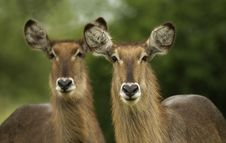 Free Waterbuck Pair Royalty Free Stock Photography - 4111837