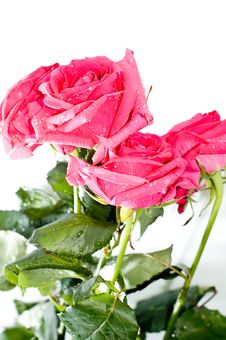Free Roses With Drops Stock Photography - 4112762