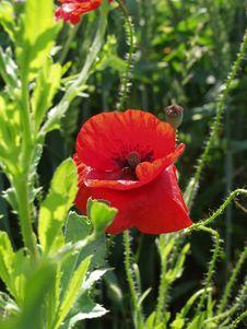 Free Red Poppy Royalty Free Stock Photo - 4112895