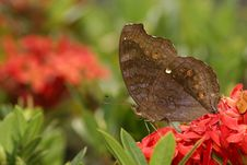 Free Chocolate Pansy Butterfly Stock Photo - 4114160