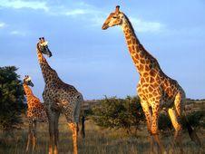 Free Giraffe Herd Royalty Free Stock Photo - 4114285