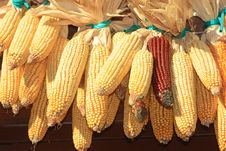 Free Maize Stock Royalty Free Stock Image - 4115036