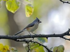 Free Titmouse Royalty Free Stock Photography - 4116137