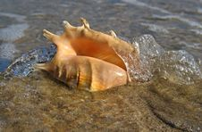 Free Shell On The Beach Royalty Free Stock Photography - 4116507