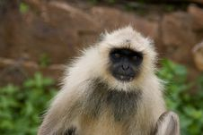 Free Close Up Of Indian Monkey Stock Photos - 4117623