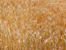 Free Wheat Field Stock Photo - 4117710