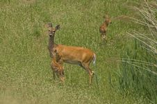 Free Female Deer And Fawns Stock Images - 4117764
