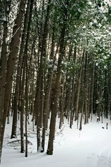 Free Snow Falling On Cedars Stock Images - 4118154