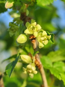 Free Flowers Of Currant Stock Photography - 41119052
