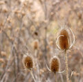 Free Three Thistles Royalty Free Stock Images - 4122029
