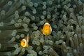 Free Clown Fish Royalty Free Stock Photo - 4122505