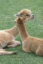 Free Alpaca 7 Stock Photo - 4124470