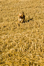 Free Terrier Dog Running In Straw Stubble Royalty Free Stock Images - 4124649