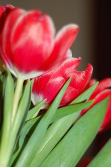 Free Red Tulips Stock Photos - 4120793