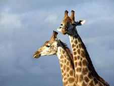 Free Two Giraffe Stock Photo - 4120810