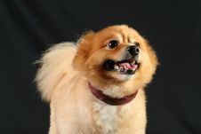 Free Pomeranian Stock Photography - 4121982