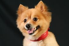 Free Pomeranian Royalty Free Stock Photos - 4121988