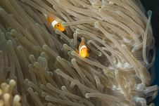 Free Clown Fish Stock Images - 4122384