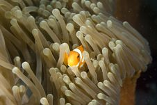 Free Clown Fish Stock Image - 4122471