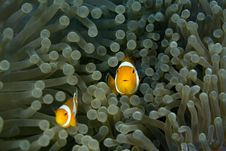 Free Clown Fish Royalty Free Stock Photo - 4122505