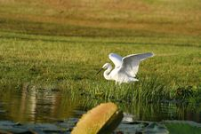 Free Great Egret Royalty Free Stock Images - 4124159