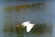 Great Egret In Flight Royalty Free Stock Image