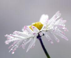 Wet Daisy Royalty Free Stock Image