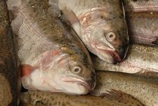 Free Trout On Fishmonger S Slab Stock Images - 4124604