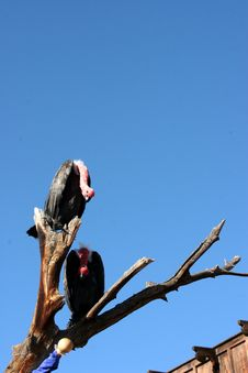 Vultures On A Branch Stock Photography